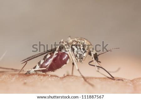 Mosquito sucking blood, extreme close-up - stock photo