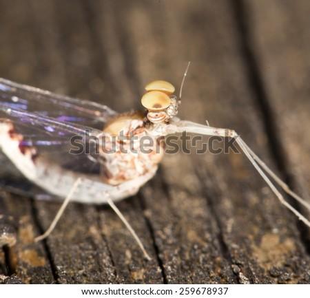 mosquito. super macro - stock photo