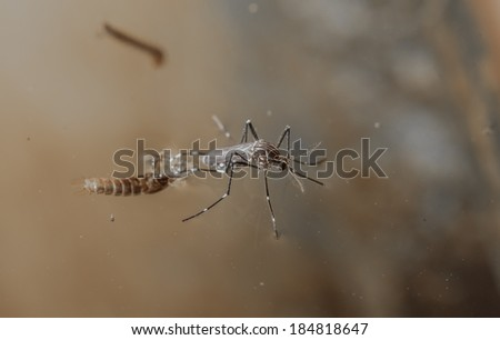 Mosquitoes to emerge from pupae in the water. name common house mosquito, Aedes Egypti - stock photo