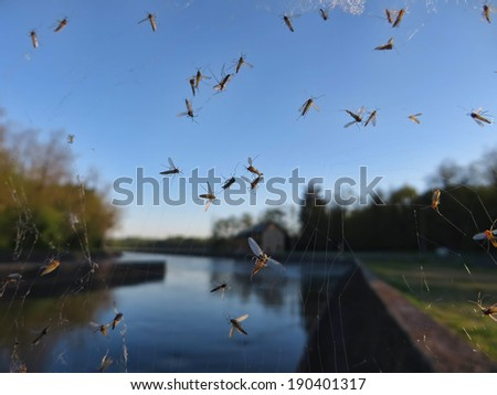 mosquitoes trapped in a spider's web - stock photo