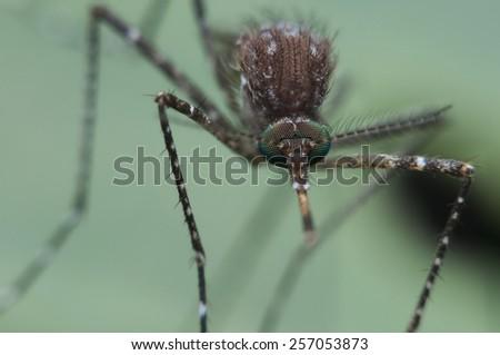 mosquitos mosquito  - stock photo