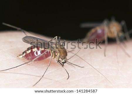 Mosquitos sucking blood, extreme close-up - stock photo