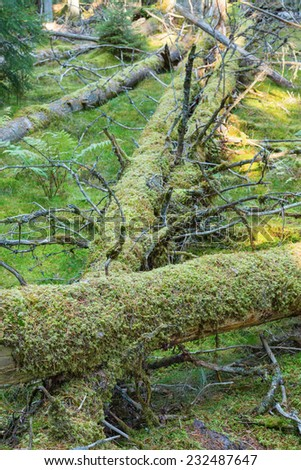 Moss covered fallen trees in the forest - stock photo