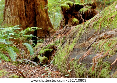 Moss covers a fallen redwood tree rotting in a California forest - stock photo