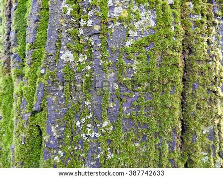 Moss on a tree bark - stock photo