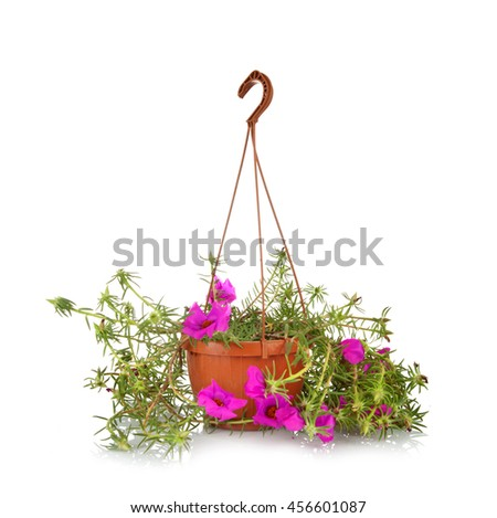Moss Rose Portulaca grandiflora in pots to hang on white background. - stock photo