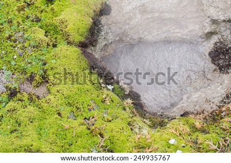 moss tree and hot spring in Yellowstone background - stock photo