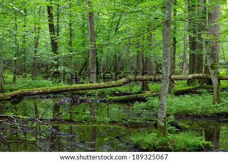 Moss wrapped broken tree lying over water in old natural summertime deciduous stand of Bialowieza Forest - stock photo