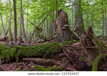Moss wrapped old oak tree broken lying in autumnal ladscape of deciduous stand of Bialowieza National Park - stock photo