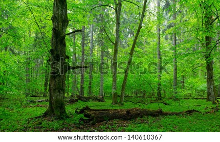 Moss wrapped part of broken hornbeam lying against illuminaded deciduous stand of Bialowieza Fores - stock photo
