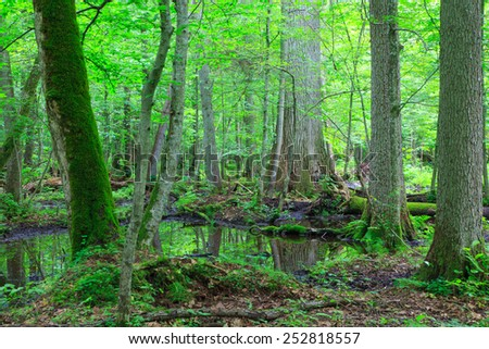 Moss wrapped trees by water in old natural summertime deciduous stand of Bialowieza Forest - stock photo