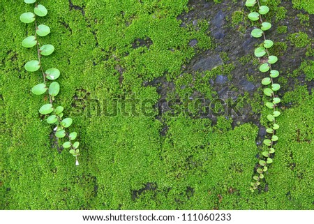 Mosses are small, soft plants that are typically 1-10 cm (0.4-4 in) tall, though some species are much larger. They commonly grow close together in clumps or mats in damp or shady locations. - stock photo