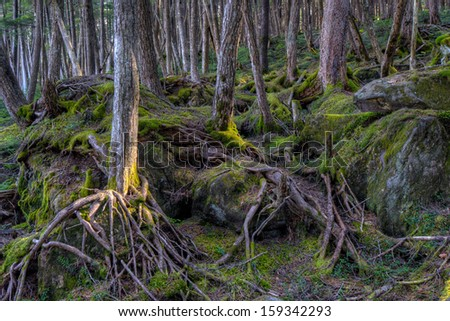 Mossy forest with spreading root system on the volcanic rocks in Yatsugatake, Nagano, Japan. - stock photo