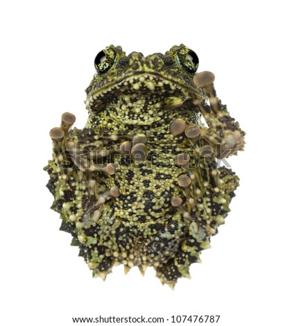 Mossy Frog, Theloderma corticale, also known as a Vietnamese Mossy Frog, or Tonkin Bug-eyed Frog, against white background - stock photo