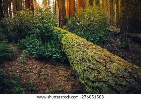 Mossy Tree Trunk, Sequoia National Park, California  - stock photo