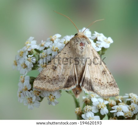Moth Helicoverpa armigera on a plant - stock photo