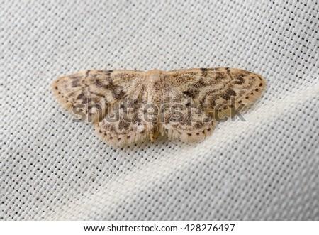 moth indoors (curtain) - stock photo