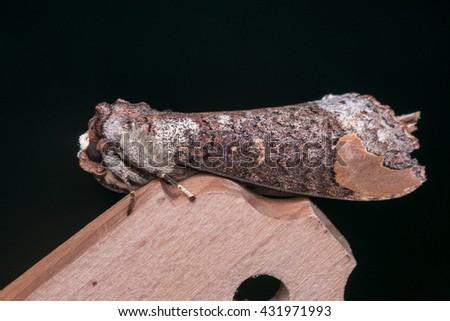 Moth of Borneo , Close-up Of moth - stock photo