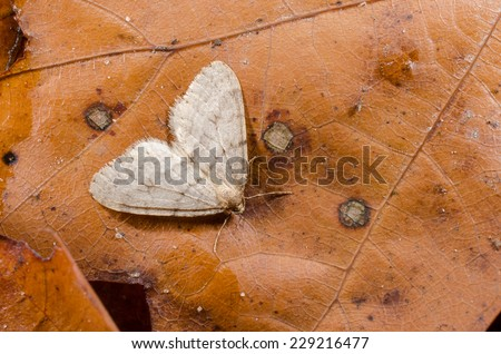 moth on fading leaf - stock photo