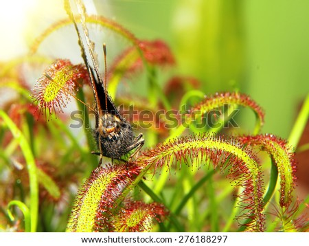 moth on sundew ( drosera ) close up. macro picture. Natural background - stock photo