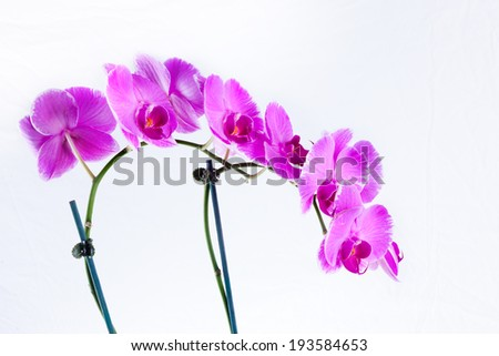 Moth  orchid flowers - stock photo