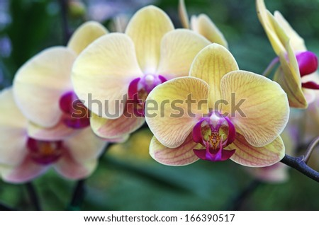 moth orchids in the flora garden - stock photo