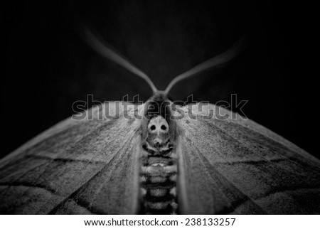 Moth with a skull-like pattern on its upper back. - stock photo