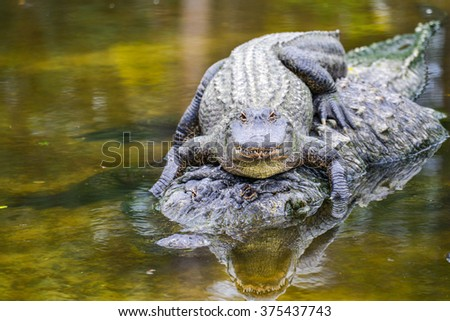 Mother alligator carries his hatchling in water - stock photo