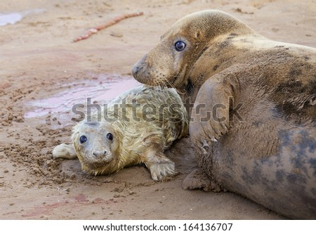 Mother and a newborn pup grey seals in Donna Nook, UK - stock photo