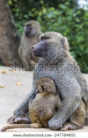 Mother and baby baboon - stock photo