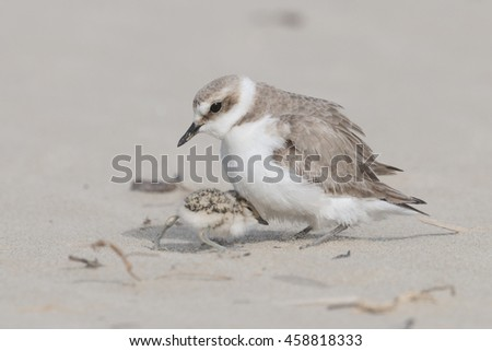 mother and baby bird, kentish plover - stock photo