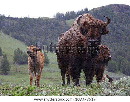 Mother and Baby Buffalo (bison) in late spring / early summer, Lamar Valley, Yellowstone National Park, Wyoming / Montana;  bison cow and calf - stock photo