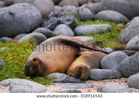 Mother and baby Galapagos sea lions (Zalophus wollebaeki) lying on North Seymour Island, Galapagos National Park, Ecuador - stock photo