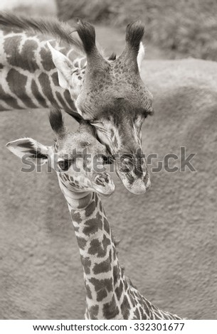 Mother and baby Giraffe in Black and WHite - stock photo