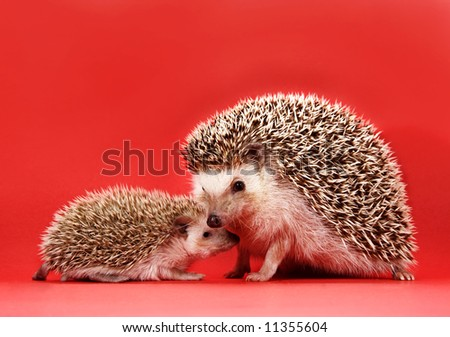 mother and baby hedgehog, red background - stock photo
