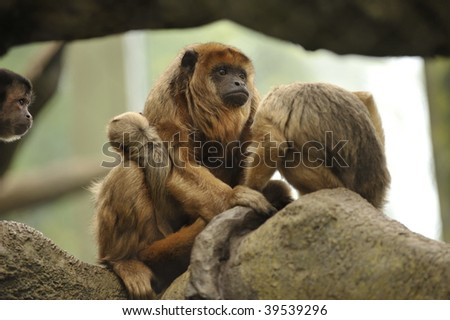 Mother and baby Howler monkeys sitting in tree of rain forest - stock photo