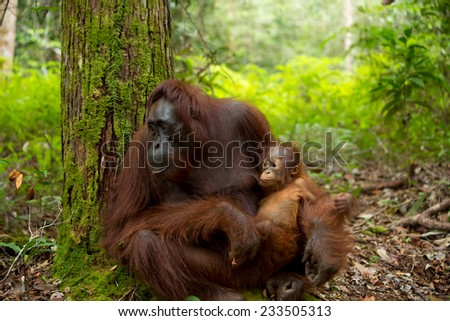 Mother and baby Orangutan in the jungle of  south Borneo Indonesia. - stock photo