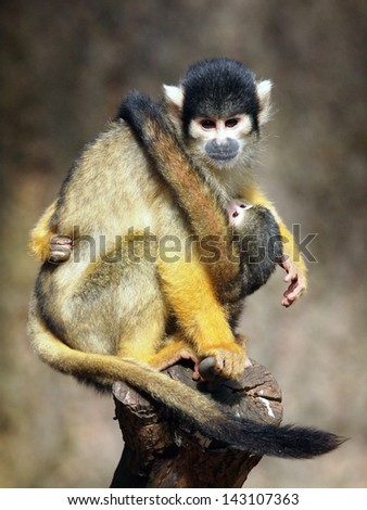 Mother and baby squirrel monkey - stock photo