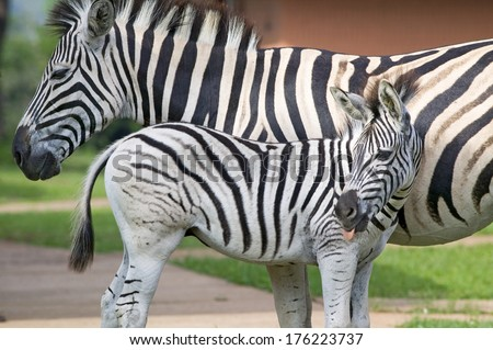 Mother and baby Zebra standing in front of house in Umfolozi Game Reserve, South Africa, established in 1897 - stock photo