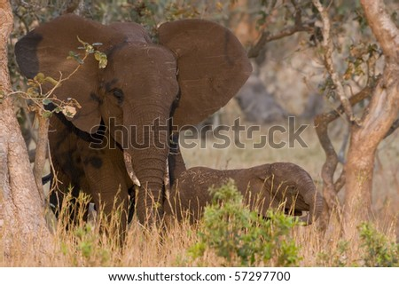 Mother and calf - stock photo