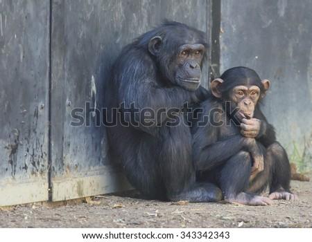 Mother and child Chimpanzee - stock photo