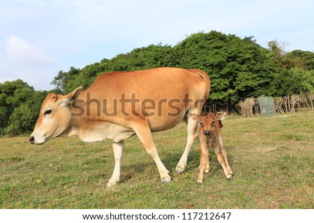 mother and child, cow's mother love, learning walk in Sai Kung, Hong Kong Global Geopark - stock photo
