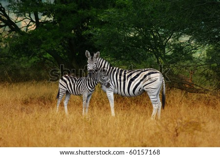 Mother and foal, Burchells Zebra in Hluhluwe Game Reserve South Africa - stock photo