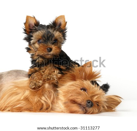 Mother and its lovely child. The Yorkshire Terriers. - stock photo