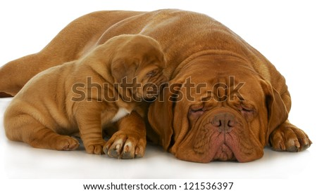 mother and puppy - dogue de bordeaux and four week old puppy isolated on white background - stock photo