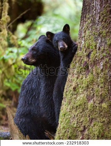 Mother black bear and cub at the base of a tree in the rain forest, cub is looking at photographer while mother is looking to the left for possible threats - stock photo