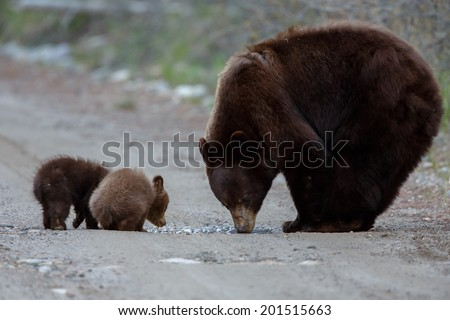 Mother black bear and her two cubs - stock photo