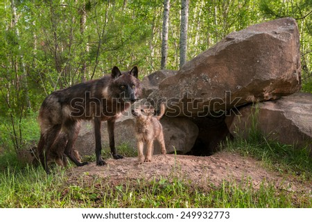 Mother Black Wolf (Canis lupus) Being Looked at by Pup - captive animals - stock photo