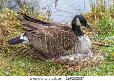 Mother Canada Goose sitting on a nest incubating her eggs beside the lake. - stock photo