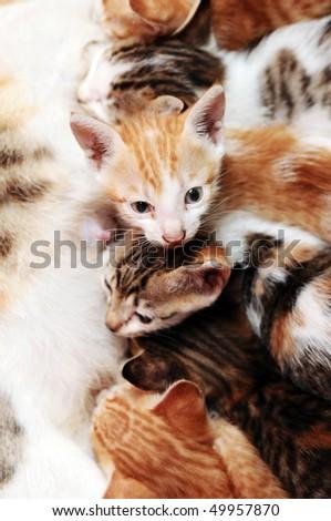 Mother cat feeding kittens - stock photo